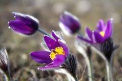 Wild Pasque flower, Pulsatilla vulgaris, spring flower Stock Photos
