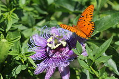 Wild passionflower and Gulf Fritillaries Royalty Free Stock Images