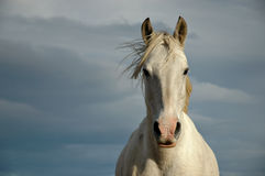 Wild Patagonian Horse. Semi-wild horse in wind-swept Chilean Patagonia Stock Photography