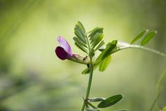 Wild Pea Blossom stock photos