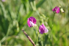 Wild pea flower. The wild pea flower close-up. Field, meadow flowers Royalty Free Stock Photo