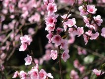 Wild peach bloom. Peach Tree is not only an excellent fruit plant with high-quality fruits, but also an excellent ornamental culture. Prunus persica is stock photo
