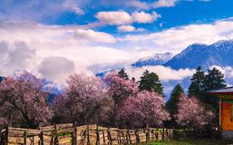 Peach blossom and highland barley field in tibetan Village. Wild peach blossom , fence, green barley field, snow mountain ,beautiful spring of tibet ,like royalty free stock images