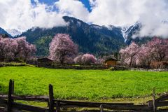 Peach blossom and highland barley field in tibetan Village stock images