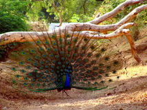 Wild Peacock. A wild peacock with beautiful pattern of feathers, in a forest Royalty Free Stock Image