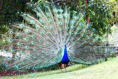 Wild Peacock Royalty Free Stock Photography