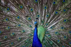 Wild Peacock Royalty Free Stock Images