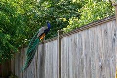 Wild Peacock bird royalty free stock image
