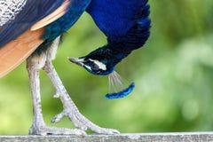 Wild Peacock bird stock images