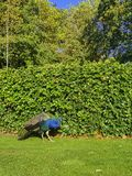 Wild peacock in British Park - Warwick, Warwickshire, UK stock image