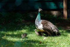 Wild Peacock and chicks royalty free stock photography