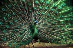 Wild Peacock Stock Photos