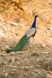 A wild peacock, Rajasthan, India. Stock Image