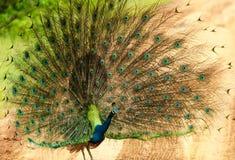 Wild peacock, Sri Lanka Stock Photos