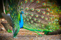 Wild peacock in theforest with feathers out Royalty Free Stock Image