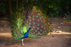 Wild Peacock in tropical forest with Feathers Out Stock Photography