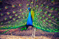 Wild peacock in tropical forest with feathers out Stock Photo