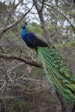 Wild Peacock up in a Tree. Royalty Free Stock Image