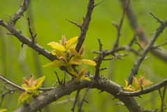 Wild pear Stock Image