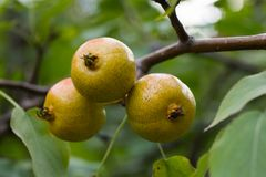 Wild PEAR Royalty Free Stock Photography