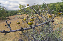 Wild Pear. Crimea, September. Royalty Free Stock Images