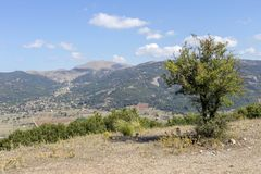 Wild pear Pyrus communis grows in the mountains Royalty Free Stock Photo