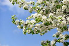 Wild pear tree blossom Stock Photography