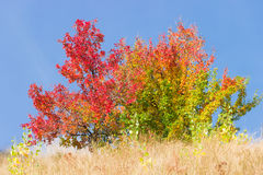 Wild pear trees with reddened and yellowed leaves Stock Photography