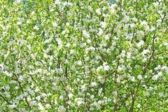 Wild pear-wood blossom tree Stock Photo