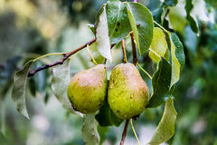 Wild pears on a branch. Full of raindrops stock image