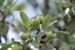 Wild pears Stock Image