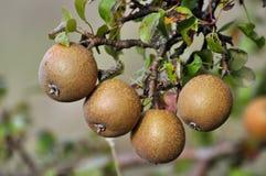 Wild pears riping på treen Arkivbild