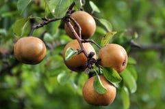 Wild pears riping på treen Royaltyfri Fotografi