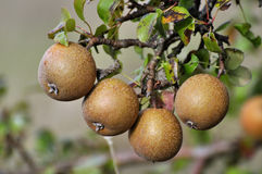Wild pears are riping on the tree Stock Photography