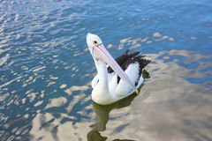 Wild pelican. Swimming on a lake stock photo