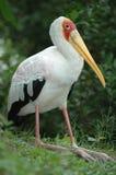 The wild pelican Stock Photos