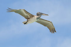 Wild pelican flying Stock Images