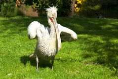 Wild pelican in the nature Royalty Free Stock Photo