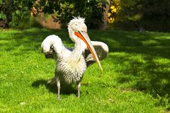 Wild pelican in the nature Stock Photos