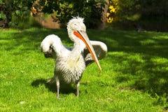 Wild pelican in the nature Stock Photos