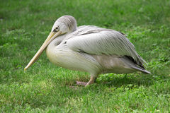 Wild pelican Royalty Free Stock Photography
