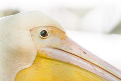 Wild Pelican Portrait Royalty Free Stock Image