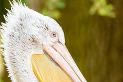 Wild Pelican Portrait Royalty Free Stock Photography
