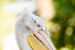 Wild Pelican Portrait Royalty Free Stock Photos