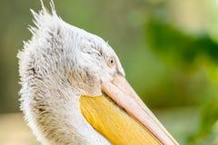 Wild Pelican Portrait Royalty Free Stock Image