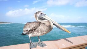 Wild pelican sitting on the fence of the pier by the ocean, Florida