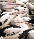 Wild Pelicans In Australia Royalty Free Stock Photography