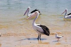 Wild pelicans on beach shore Stock Photography