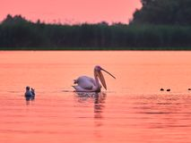 Wild Pelicans in The Danube Delta in Tulcea, Romania royalty free stock photos