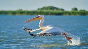 Wild Pelicans in The Danube Delta in Tulcea, Romania royalty free stock photo